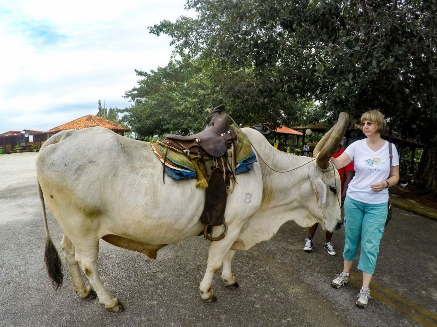 Optional bullock ride at Los Jazmines Hotel Vinales Cuba