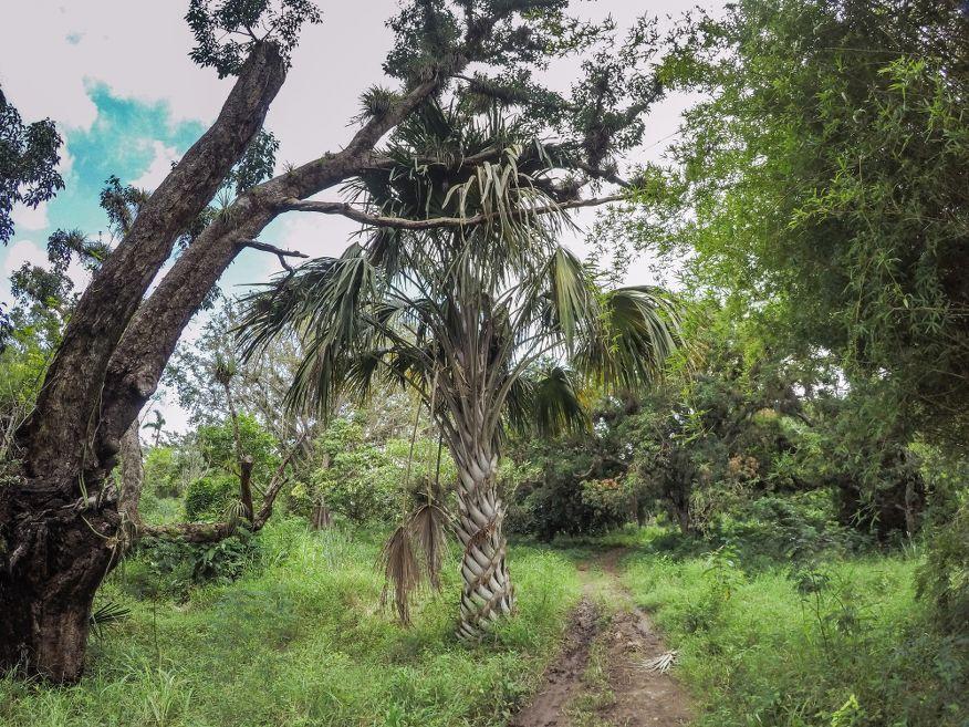 Overgrown walk in Botanical Gardens Cienfuegos Cuba