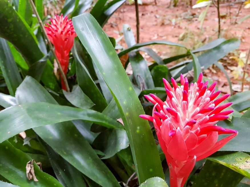 Tropical flowers at Botanical Gardens Vinales Cuba