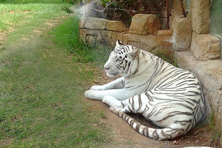lanzarote-attractions-puerto-del-carmen-rancho-texas-park-white-tiger
