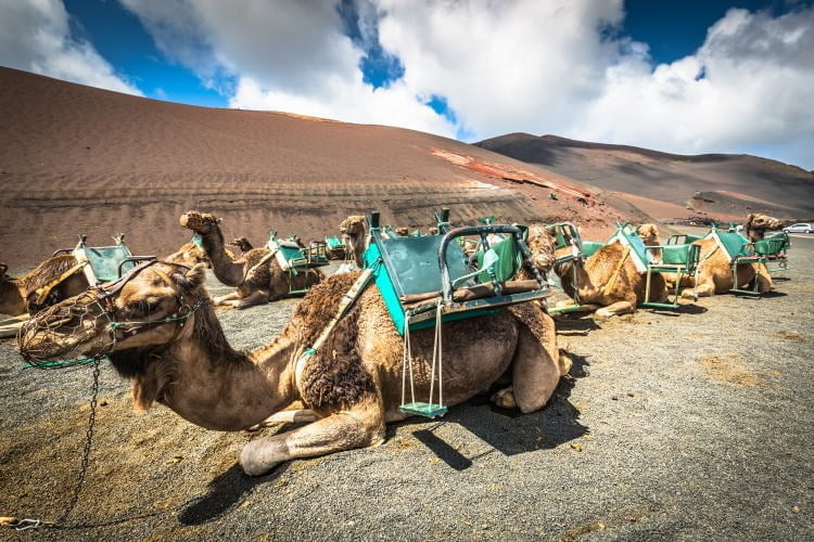 lanzarote-tour-camel-safari