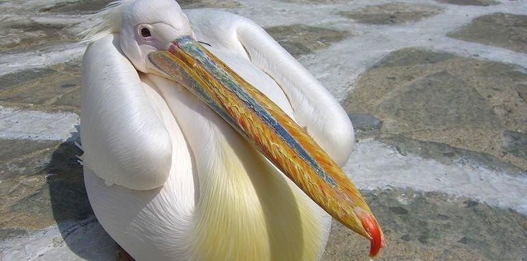 mykonos-tourism-petros-the-pelican